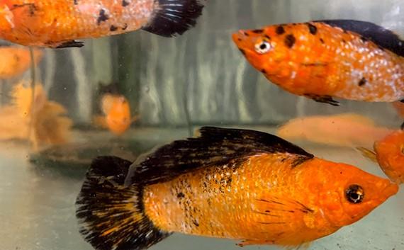 דגים טרופיים בחווה החקלאית סי-גל, מושב עידן, ערבה