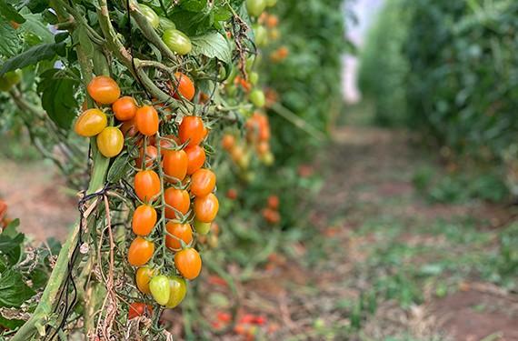 קטיף עגבניות שרי בחממות של תומר טנא,