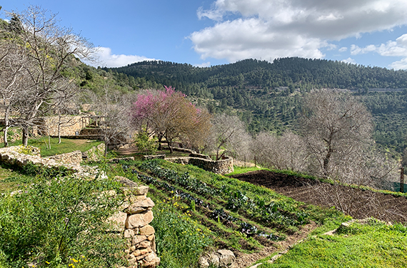 טרסות ירוקות, שקדיות ופריחה ורודה של כליל החורש בשביל המעיינות בסטף