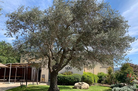 עץ הזית בחצר היפה של יקב צרעה, קיבוץ צרעה