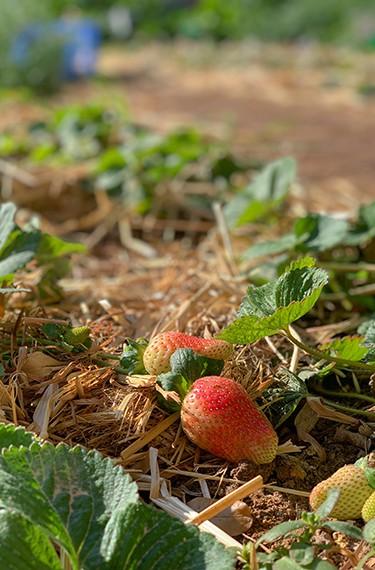 תות שדה בגן הירק בישוב צופר בערבה