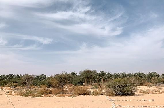 נוף עצי תמרים בערבה