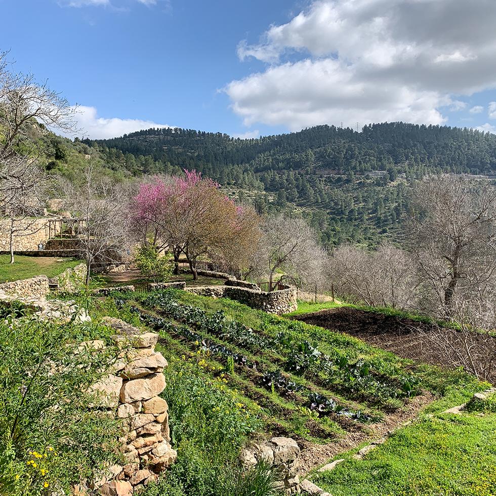 נוף הטרסות הירוקות וכליל החורש עם הפריחה הוורודה בסטף