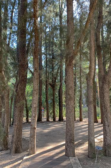מעגל הקזוארינות ביער האילנות באיזור עמק חפר