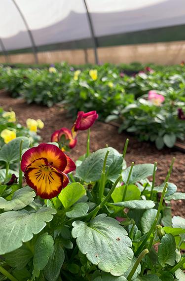 פרחי מאכל בחוות ירוקלה במושב מטע בהרי ירושלים