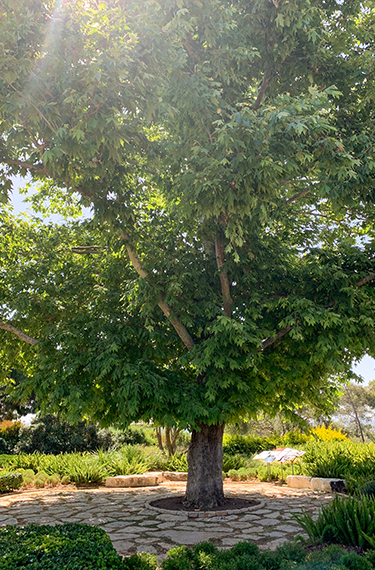 עץ דולב מרשים ברמת הנדיב