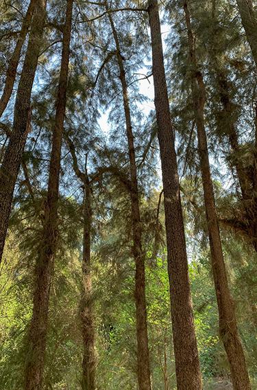 מעגל עצי הקזוארינות ביער האילנות