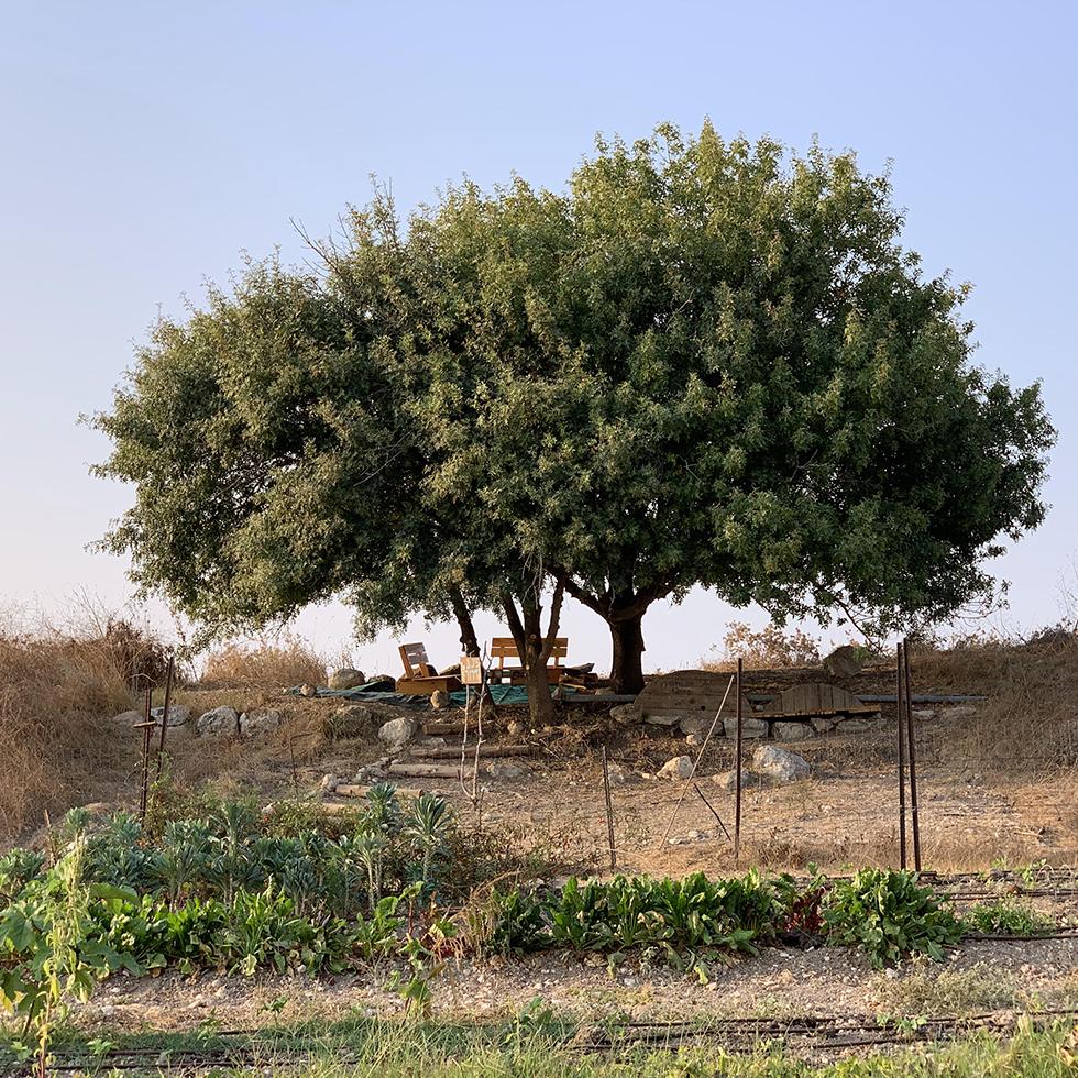 עץ מרשים תחתיו ניתן לעשות פיקניק, ולמרגלותיו גן ירק במשק שגיא פטל ארץ במושב תעוז
