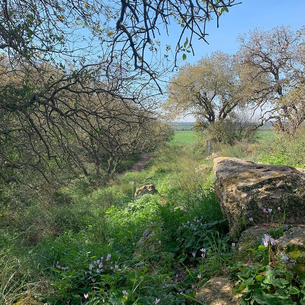 שמורת טבע אלוני יצחק עם פריחת הרקפות היפהפייה בחורף