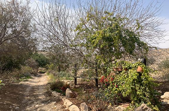 עץ ירוק וצמחיה על רקע אדמה מדברית בחוות כרמי עבדת ליד שדה בוקר