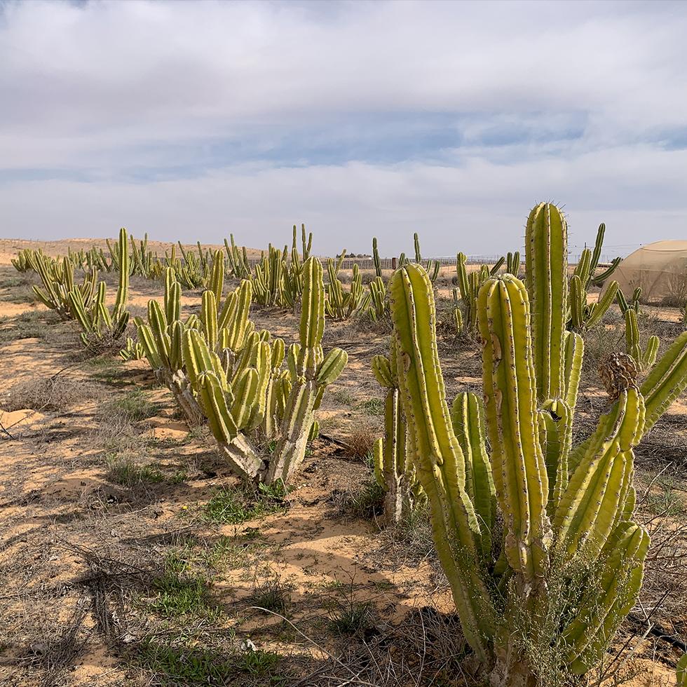 שדה קקטוסים בחוות שירת המדבר ליד היישוב באר מילכה באיזור פתחת ניצנה