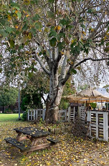 עץ בשלכת וספסל פיקניק בכניסה למתחם הקפה יענקל'ה בקיבוץ הזורע