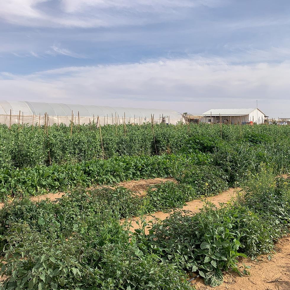גינת ירק במשק יוסף ירקות אורגניים ליד היישוב באר מילכה