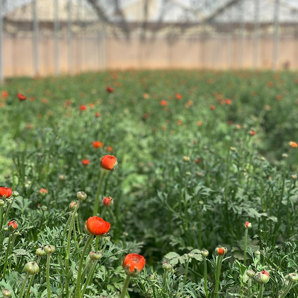 פרחי נורית ברדום-כתום בחממת הפרחים במשק פיליש ליד היישוב כמהין
