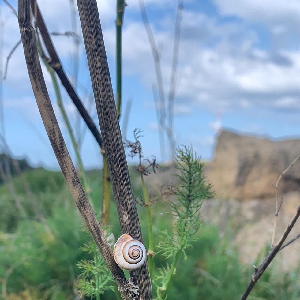 חילזון על ענף וברקע רכס הכורכר בשמורת יקום