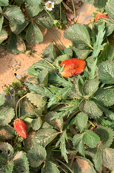 תותים על חול בחממת תות ברנע ליד קדש ברנע על גבול מצרים