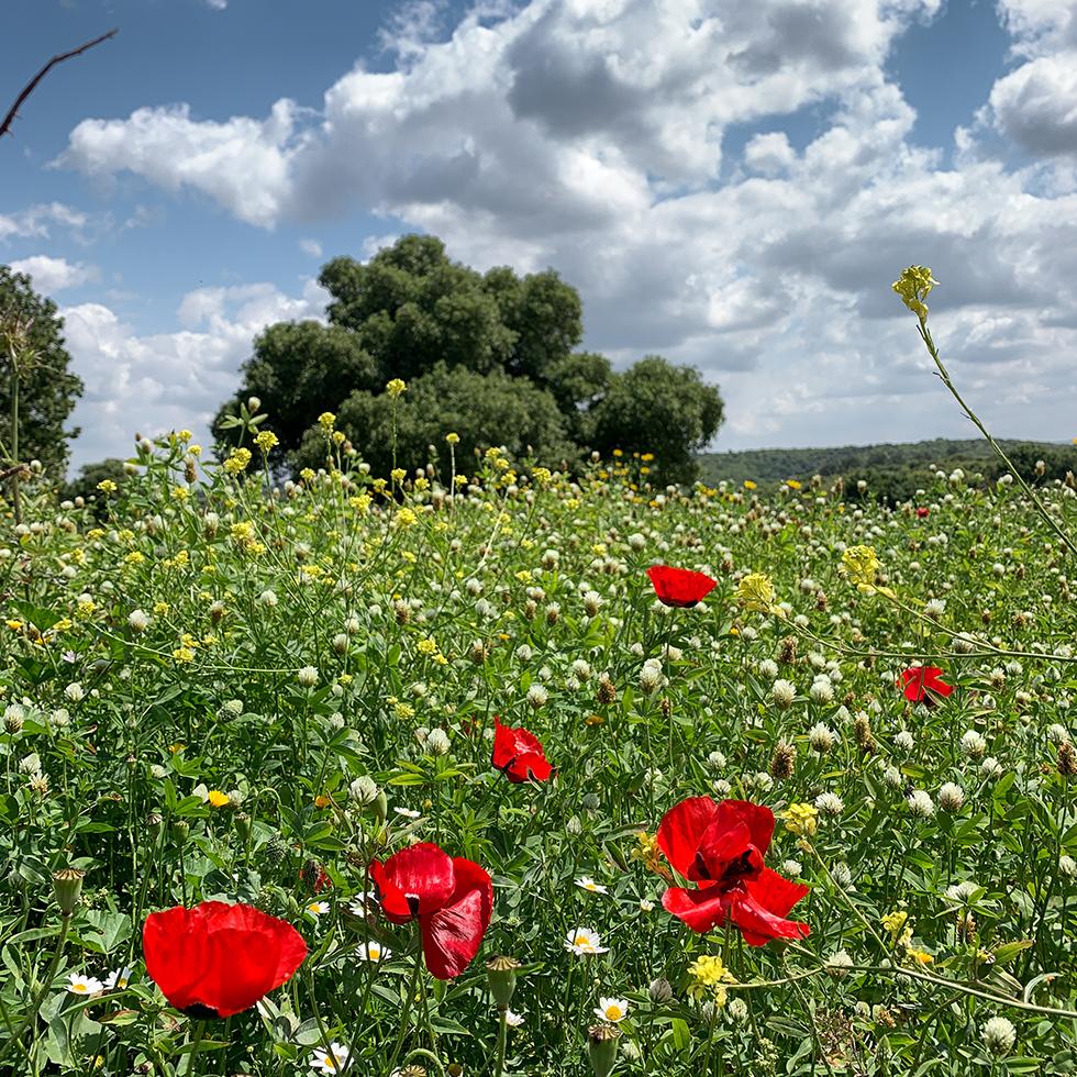 שדה פריחה אביבי מנוקד בפרגים אדומים וברקע עץ אלון תחת שמיים כחולים עם עננים לבנים בפארק זכרון החדש