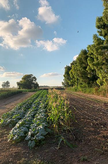 גינת ירק לאורך שדרת אקליפטוסים במשק מלמד בכפר הנגיד