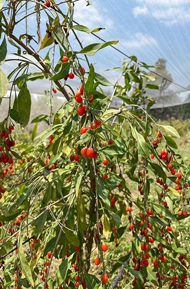 שיח הגוג'י ברי עם פירות כתומים-אדומים קטנטנים בחוות הגוג'י ברי ביישוב ציפורי