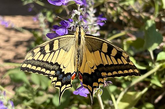 פרפר זנב הסנונית במשתלת הפרפרים