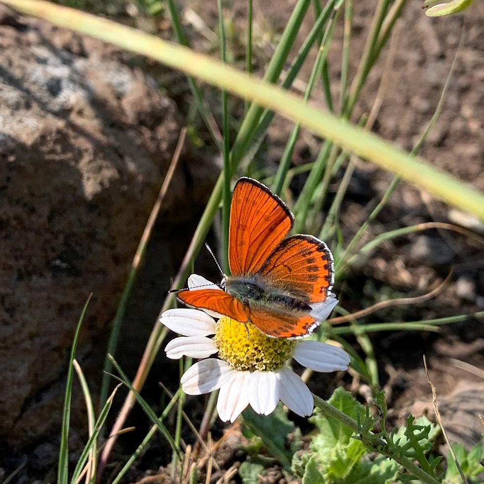 פרפר כתום על פרח לבן-צהוב באביב בשמורת הטבע גמלא ברמת הגולן